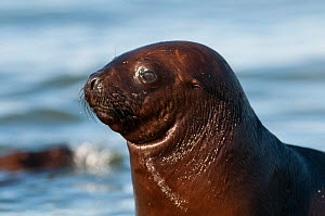 South American sea lion (Otaria flavescens) pup, Valdes Peninsula, Chubut, Patagonia, Argentina.  -  Gabriel Rojo