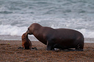 South American sea lion (Otaria flavescens) on beach with pup. Valdes Peninsula, Chubut, Patagonia, Argentina.  -  Gabriel Rojo