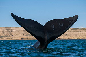 RF- Southern right whale (Eubalaena australis) tail fluke. Valdes Peninsula, Chubut, Patagonia, Argentina. (This image may be licensed either as rights managed or royalty free.)  -  Gabriel Rojo