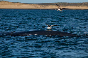 Southern right whale (Eubalaena australis) at surface with Kelp gulls (Larus dominicanus) Valdes Peninsula, Chubut, Patagonia, Argentina.  -  Gabriel Rojo
