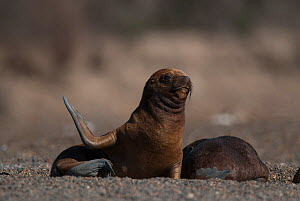 South American sea lion (Otaria flavescens) pups on beach, Valdes Peninsula, Chubut, Patagonia, Argentina.  -  Gabriel Rojo