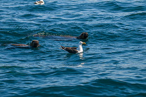 Kelp gull (Larus dominicanus) swimming and South American sea lions (Otaria flavescens) at the surface. Valdes Peninsula, Chubut, Patagonia, Argentina.  -  Gabriel Rojo