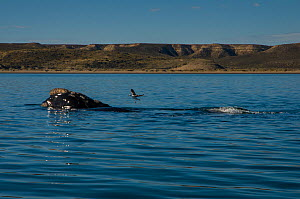 Southern right whale (Eubalaena australis) at surface with Kelp gull (Larus dominicanus) Valdes Peninsula, Chubut, Patagonia, Argentina.  -  Gabriel Rojo