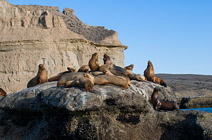 South American sea lions (Otaria flavescens) hauled out on rock. Valdes Peninsula, Chubut, Patagonia, Argentina.  -  Gabriel Rojo