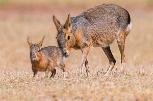 RF- Patagonian mara / cavy (Dolichotis patagonum) with young, Valdes Peninsula, Chubut, Patagonia, Argentina. (This image may be licensed either as rights managed or royalty free.) - Gabriel Rojo