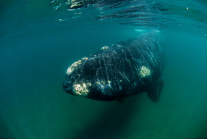 RF- Southern right whale (Eubalaena australis) underwater, Valdes Peninsula, Chubut, Patagonia, Argentina. (This image may be licensed either as rights managed or royalty free.) - Gabriel Rojo
