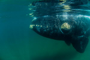 Southern right whale (Eubalaena australis) underwater, close to the surface. Valdes Peninsula, Chubut, Patagonia, Argentina. - Gabriel Rojo
