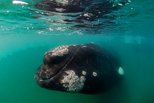 Southern right whale (Eubalaena australis) underwater, close to the surface with barnacles on skin. Valdes Peninsula, Chubut, Patagonia, Argentina. - Gabriel Rojo