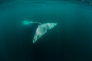 Southern right whale (Eubalaena australis) view of tail underwater, Valdes Peninsula, Chubut, Patagonia, Argentina.  -  Gabriel Rojo