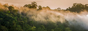 RF- Early morning mist over the rainforest canopy. Temburong National Park, Brunei, Borneo. February 2009. (This image may be licensed either as rights managed or royalty free.)  -  Nick Garbutt