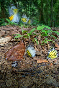 Aggregation of butterflies, mainly Bornean sawtooth (Prioneris cornelia) and Red brown / tawny rajah (Charaxes bernardus), taking minerals from damp area on rainforest floor. Temburong National Park,...  -  Nick Garbutt