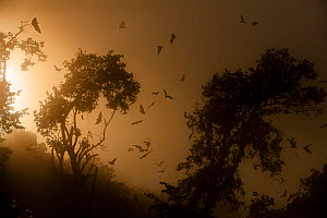 RF- Straw-coloured fruit bats (Eidolon helvum) returning to daytime roost at sunrise. Kasanka National Park, Zambia. (This image may be licensed either as rights managed or royalty free.) - Nick Garbutt