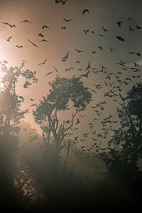 Straw-coloured fruit bats (Eidolon helvum) returning to daytime roost at sunrise. Kasanka National Park, Zambia. - Nick Garbutt