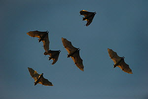 RF-  Straw-coloured fruit bats (Eidolon helvum) in flight returning to their daytime roost. Kasanka National Park, Zambia. (This image may be licensed either as rights managed or royalty free.) - Nick Garbutt