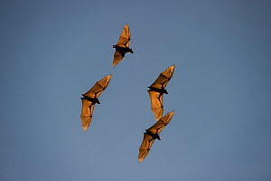 Straw-coloured fruit bats (Eidolon helvum) in flight returning to their daytime roost. Kasanka National Park, Zambia. - Nick Garbutt