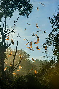 Straw-coloured fruit bats (Eidolon helvum) in flight at daytime roost after being disturbed by a large raptor. Kasanka National Park, Zambia. - Nick Garbutt