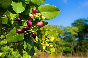 Waterberry fruit (Syzygium cordatum), a major food source for the massive aggregations of straw-coloured fruit bats. Kasanka National park, Zambia.  -  Nick Garbutt