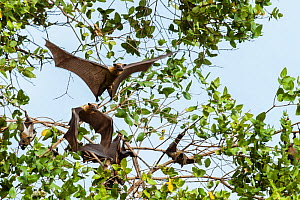 Straw-coloured fruit bats (Eidolon helvum) taking off from daytime roost in 'Mushitu' (ever-green swamp forest). Kasanka National Park, Zambia. - Nick Garbutt