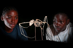Local school children looking at the skeleton of a Straw-coloured fruit bat (Eidolon helvum). Kasanka Trust Education Centre and Museum, Kasanka National Park, Zambia. November 2013.  -  Nick Garbutt