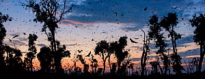 Straw-coloured fruit bats (Eidolon helvum) returning to daytime roost at dawn. Kasanka National Park, Zambia. - Nick Garbutt