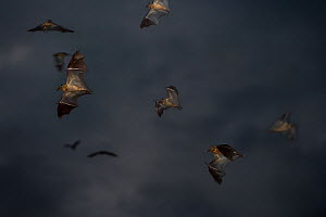 Straw-coloured fruit bats (Eidolon helvum) leaving roost site at dusk. Kasanka National Park, Zambia. - Nick Garbutt