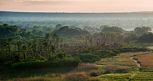 Aerial view just after sunrise of millions of Straw-coloured fruit bats (Eidolon helvum) circling over the 'Mushitu' (ever-green swamp forest) where they roost during the day. Kasanka National Park, Z... - Nick Garbutt