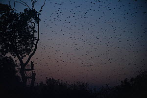 Tourist watching Straw-coloured fruit bats (Eidolon helvum) returning to daytime roost just before sunrise. Kasanka National Park, Zambia. - Nick Garbutt