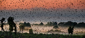 Straw-coloured fruit bats (Eidolon helvum) returning to daytime roost in misty swamp forest just before sunrise. Kasanka National Park, Zambia. - Nick Garbutt