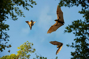Straw-coloured fruit bats (Eidolon helvum) in flight at daytime roost in 'Mushitu' (ever-green swamp forest). Kasanka National Park, Zambia. - Nick Garbutt