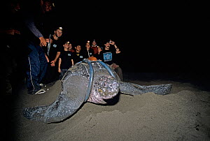 Scientists and volunteers watching Leatherback turtle (Dermochelys coriacea) with satellite transmitter cover her nest before returning to sea, Tortuguero National Park, Costa Rica.  -  Jeff Rotman