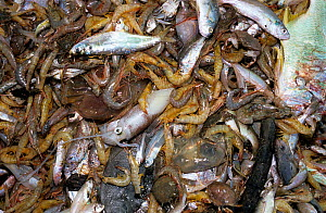 Shrimp and bycatch on deck of trawler, Costa Rica, Pacific Ocean.  -  Jeff Rotman