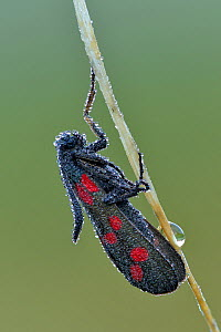Six spot burnet moth (Zygaena filipendulae) on grass stem covered in early morning dew, Hertfordshire, England, UK.  July.  Focus stacked image.  -  Andy Sands