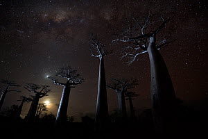 Grandidier�s baobab (Adansonia grandidieri) trees on starry night, Baobab Alley, Menabe, Madagascar. Honorable Mention in the Landscapes, Waterscapes and Plant Life category of the Big Picture 2014.  -  Ben  Cranke
