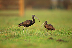 Glossy Ibis (Plegadis falcinellus) two in field, scarce visitor to UK, Norfolk, England, UK, January - Robin Chittenden