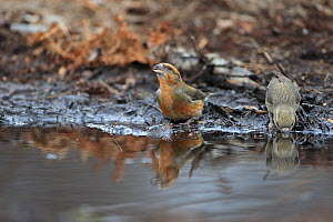 Common Crossbills (Loxia curvirostra) drinking, Norfolk, England, UK, February - Robin Chittenden