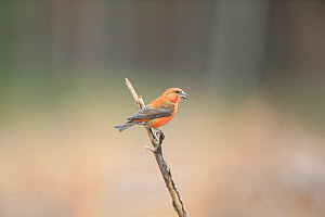 Common Crossbill (Loxia curvirostra) perched on branch, Norfolk, England, UK, February - Robin Chittenden
