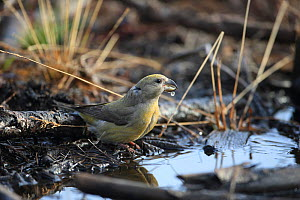 Parrot Crossbill (Loxia pytyopsittacus) drinking, Norfolk, England, UK, February - Robin Chittenden