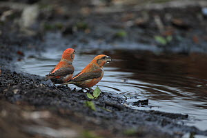Parrot Crossbills (Loxia pytyopsittacus) Norfolk, England, UK, February - Robin Chittenden