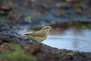 Common Crossbill (Loxia curvirostra) drinking, Norfolk, England, UK, February - Robin Chittenden