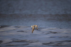 Bar-tailed Godwit (Limosa lapponica) in flight over waves, Norfolk, England, UK, January  -  Robin Chittenden