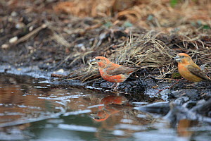 Parrot Crossbills (Loxia pytyopsittacus) by puddle, Norfolk, England, UK, February  -  Robin Chittenden