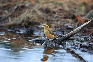 Common Crossbill (Loxia curvirostra) by puddle, Norfolk, England, UK, February - Robin Chittenden