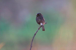 Pied Bushchat (Saxicola caprata) perched on twig, Gaoligong Mountain National Nature Reserve, Tengchong county, Yunnan Province, China, Asia  -  Dong Lei