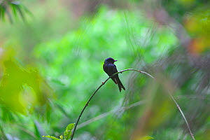 Bronzed Drongo (Dicrurus aeneus) perched, Simao Prefecture, Yunnan Province, China, Asia  -  Dong Lei