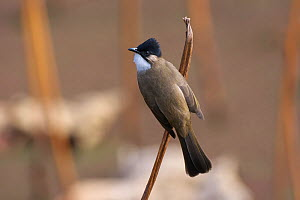 Brown-breasted bulbul (Pycnonotus xanthorrhous) perched, Mianyang City, Sichuan Province, China, Asia - Dong Lei