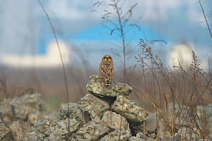 Short eared Owl (Asio flammeus) looking back over shoulder, near Chengdu City, Sichuan Province, China, Asia  -  Dong Lei