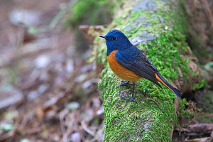 Blue-fronted Redstart (Phoenicurus frontalis) Gaoligong Mountain National Nature Reserve, Tengchong county, Yunnan Province, China, Asia  -  Dong Lei