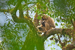 Black crested gibbon (Nomascus concolor) female with baby, Wuliang Mountain National Nature Reserve, Jingdong county, Yunnan Province, China, Asia - Dong Lei