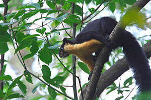 Black Giant Squirrel (Ratufa bicolor) Gaoligong Mountain National Nature Reserve, Tengchong county, Yunnan Province, China, Asia  -  Dong Lei
