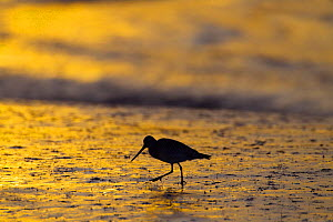 Bar-tailed godwit (Limosa lapponica) silhouetted at sunset on coastal mudflats, Norfolk, England, UK, February.  -  Ernie  Janes